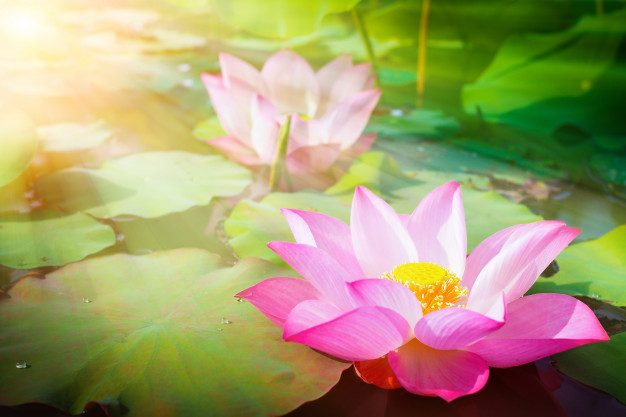 Live like the Lotus